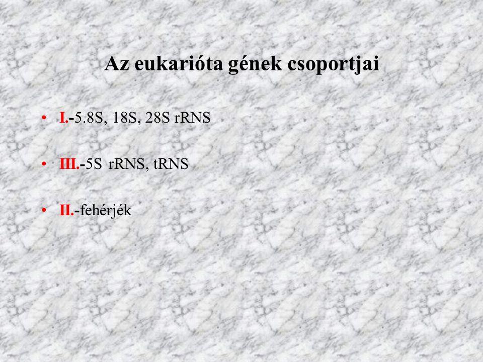 Az eukarióta gének csoportjai I.-5.8S, 18S, 28S rRNS III.-5S rRNS, tRNS II.-fehérjék