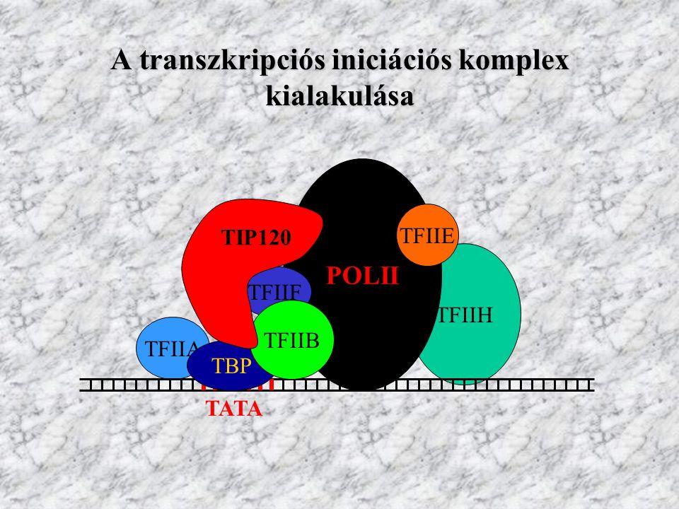 A TIP120 fehérje néhány jellemzője 1230 AS, szimpla polipeptid Affinitást mutat a TBP-vel és az RNS Pol II Rpb5 alegységével Az iniciációs komplex összeszerelődését serkenti A funkció betöltésében fontos a molekula N-terminális 1/3-a A TIP120 fehérjét kódoló gént kimutatták patkányban, Coenorhabditisban, Drosophilában, emberben, Arabidopsisban