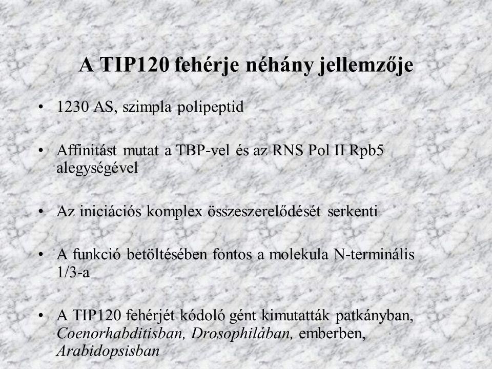 A TIP120 fehérje néhány jellemzője 1230 AS, szimpla polipeptid Affinitást mutat a TBP-vel és az RNS Pol II Rpb5 alegységével Az iniciációs komplex öss