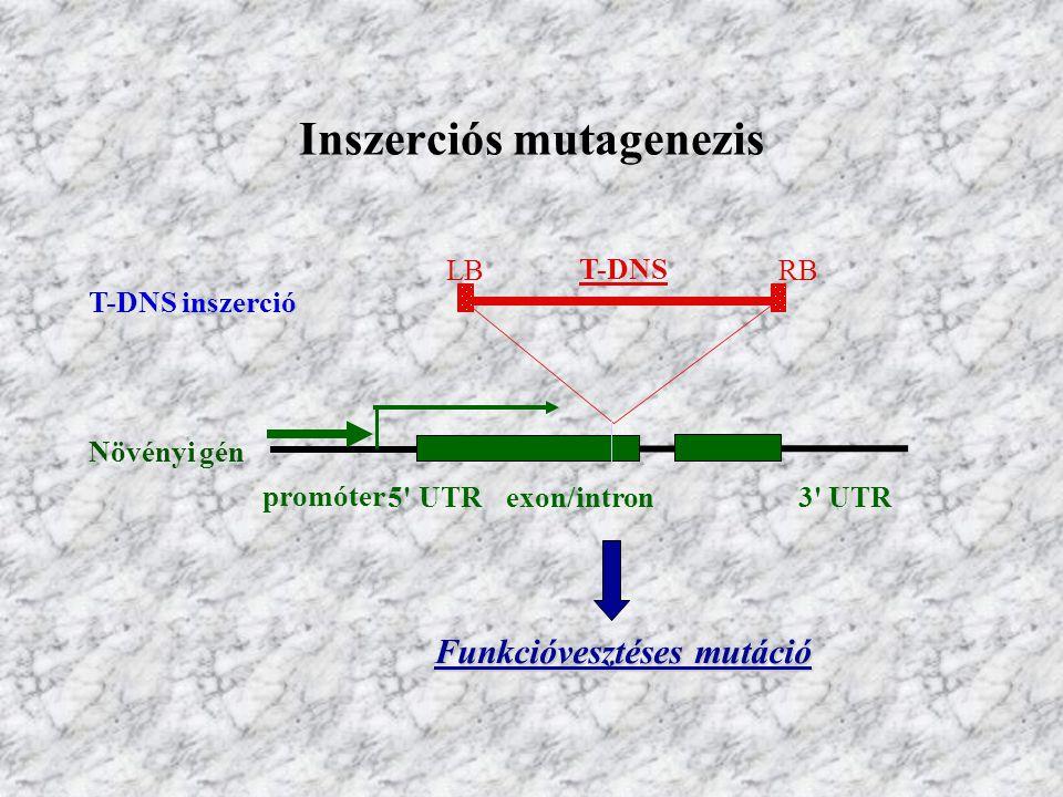 Inszerciós mutagenezis Növényi gén exon/intron promóter 5' UTR3' UTR T-DNS LBRB T-DNS inszerció Funkcióvesztéses mutáció Funkcióvesztéses mutáció