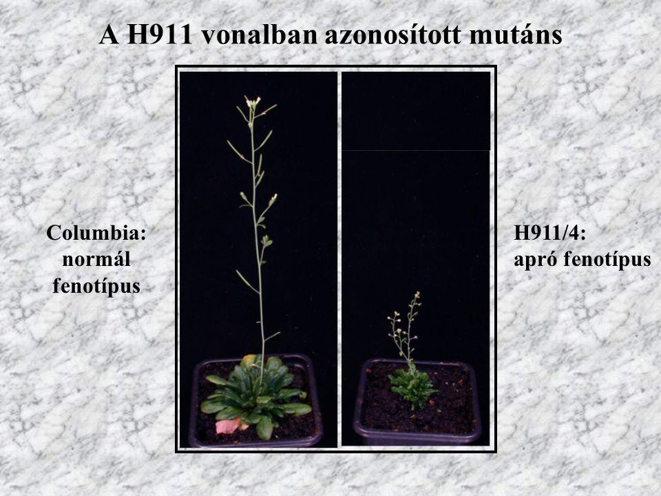 A H911 vonalban azonosított mutáns Columbia: normál fenotípus H911/4: apró fenotípus