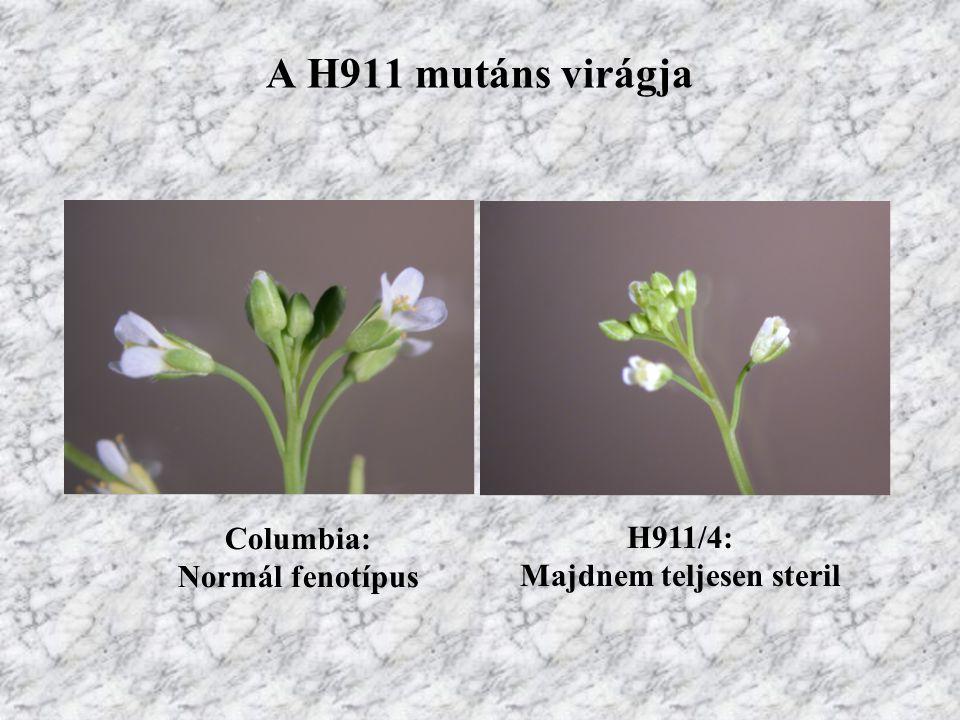 A H911 mutáns virágja Columbia: Normál fenotípus H911/4: Majdnem teljesen steril