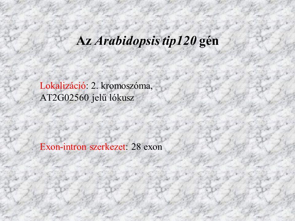 Lokalizáció: 2. kromoszóma, AT2G02560 jelű lókusz Exon-intron szerkezet: 28 exon Az Arabidopsis tip120 gén