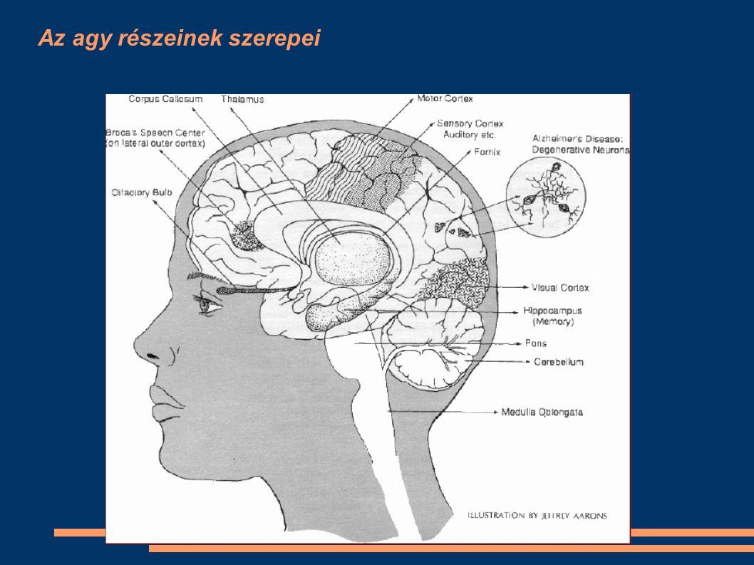 Az Alzheimer kór gyakorisága 1.Érrendszeri megbetegedések 2.Daganatos betegségek 3.Alzheimer kór ●M●Magyarországon kb 100000 érintett