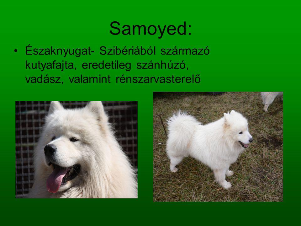 Samoyed: Északnyugat- Szibériából származó kutyafajta, eredetileg szánhúzó, vadász, valamint rénszarvasterelő