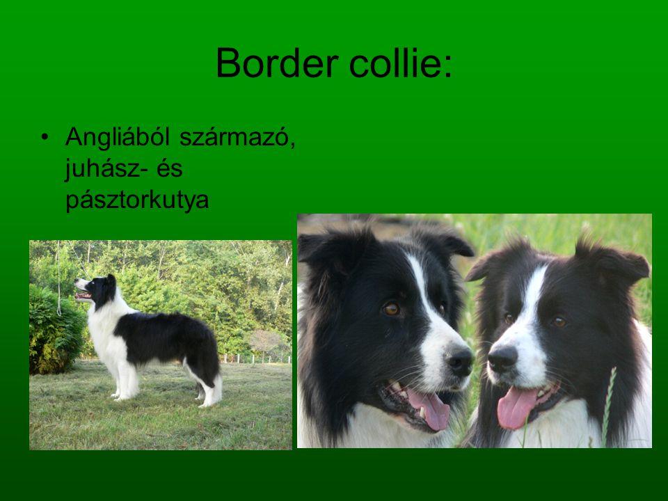 Border collie: Angliából származó, juhász- és pásztorkutya