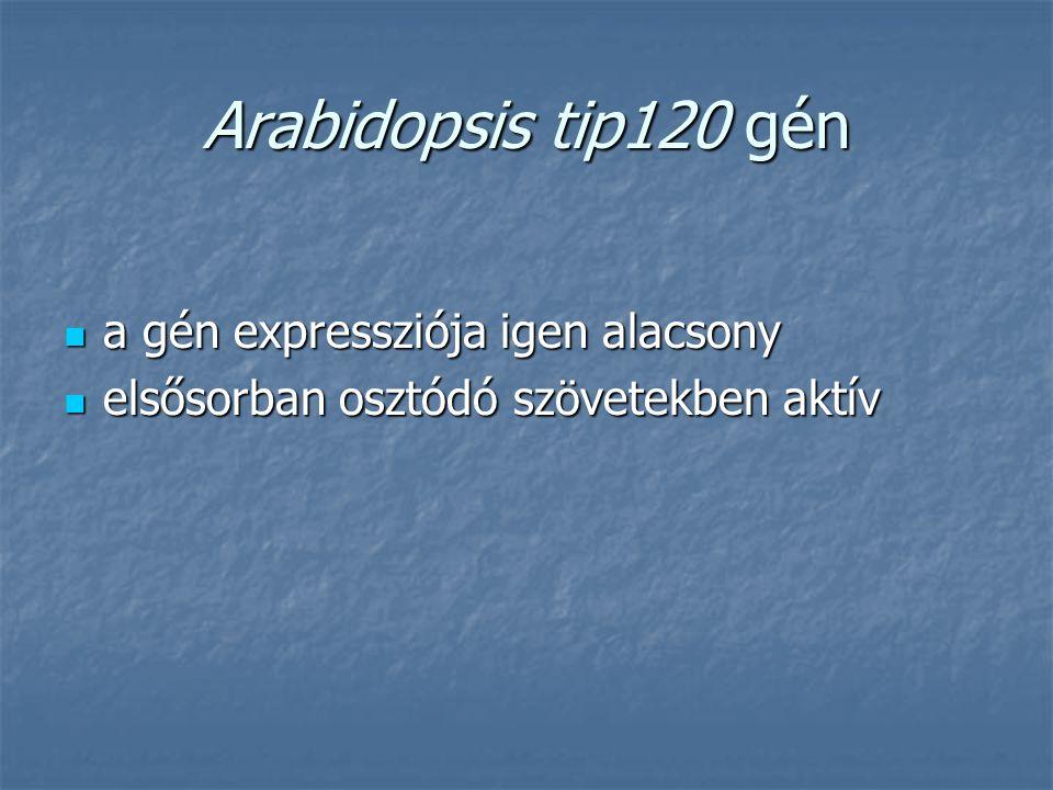Arabidopsis tip120 gén a gén expressziója igen alacsony a gén expressziója igen alacsony elsősorban osztódó szövetekben aktív elsősorban osztódó szöve