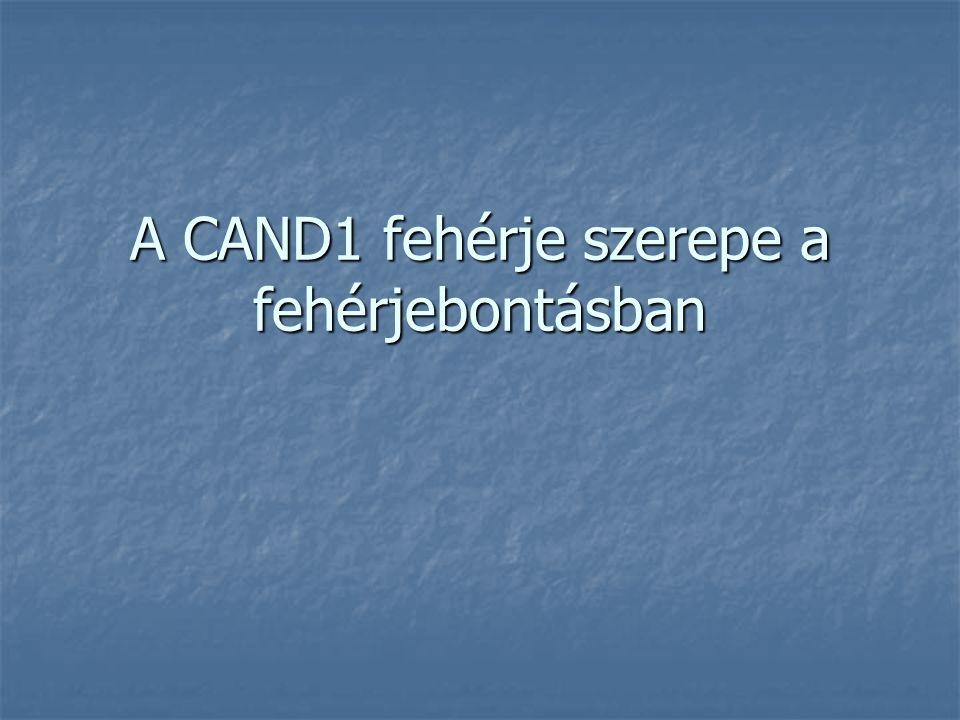 A CAND1 fehérje szerepe a fehérjebontásban