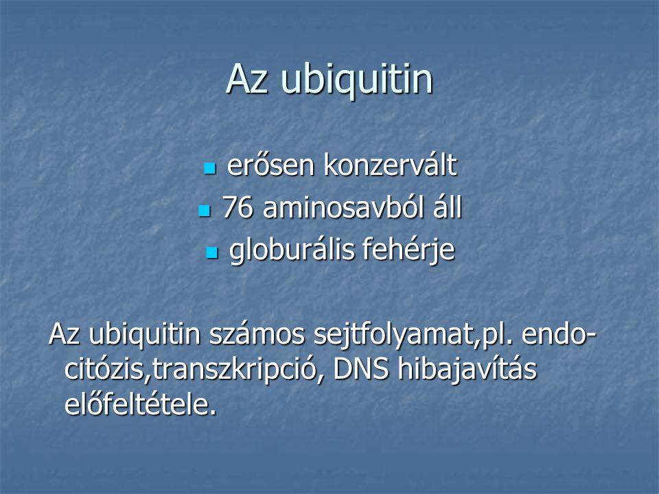 Az ubiquitin erősen konzervált erősen konzervált 76 aminosavból áll 76 aminosavból áll globurális fehérje globurális fehérje Az ubiquitin számos sejtfolyamat,pl.