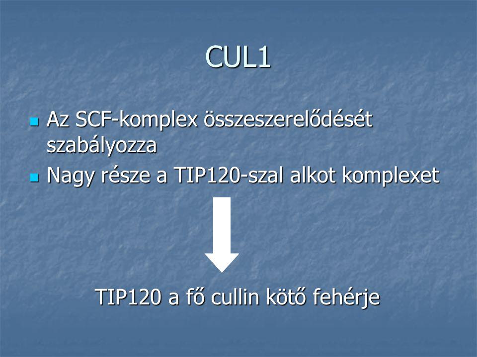 CUL1 Az SCF-komplex összeszerelődését szabályozza Az SCF-komplex összeszerelődését szabályozza Nagy része a TIP120-szal alkot komplexet Nagy része a TIP120-szal alkot komplexet TIP120 a fő cullin kötő fehérje TIP120 a fő cullin kötő fehérje