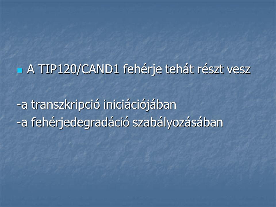 A TIP120/CAND1 fehérje tehát részt vesz A TIP120/CAND1 fehérje tehát részt vesz -a transzkripció iniciációjában -a fehérjedegradáció szabályozásában