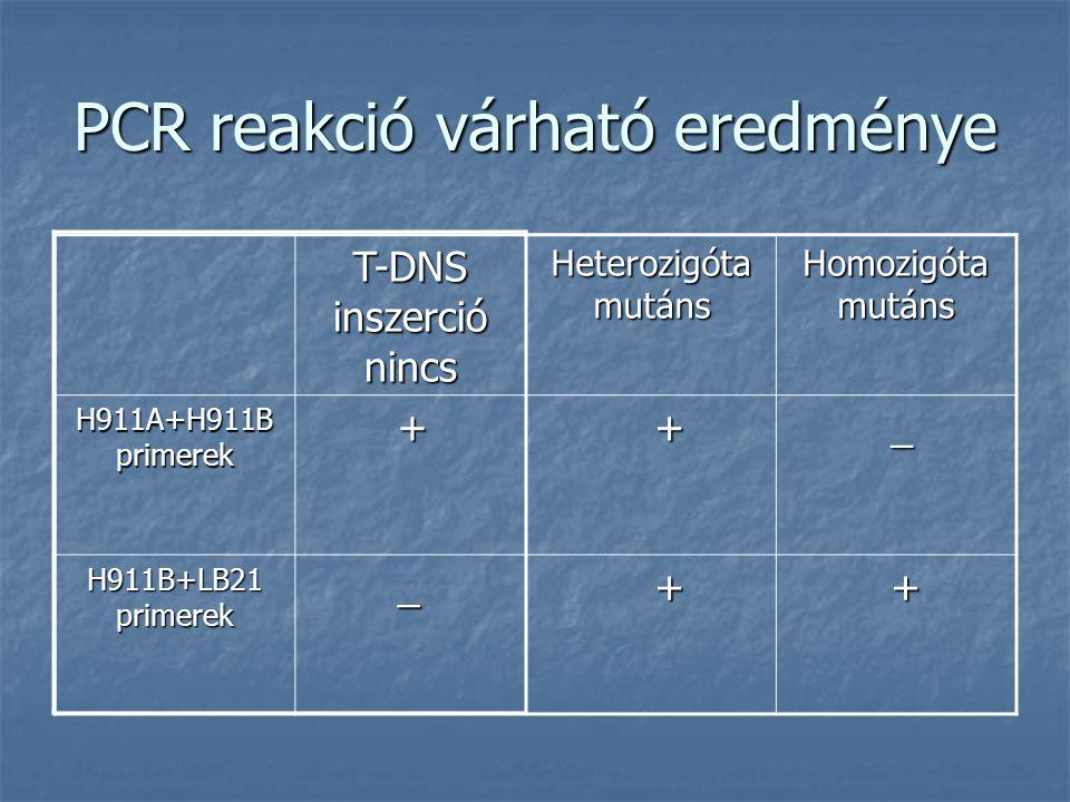 PCR reakció várható eredménye T-DNS inszerció nincs Heterozigóta mutáns Homozigóta mutáns H911A+H911B primerek + + _ H911B+LB21 primerek _ + +