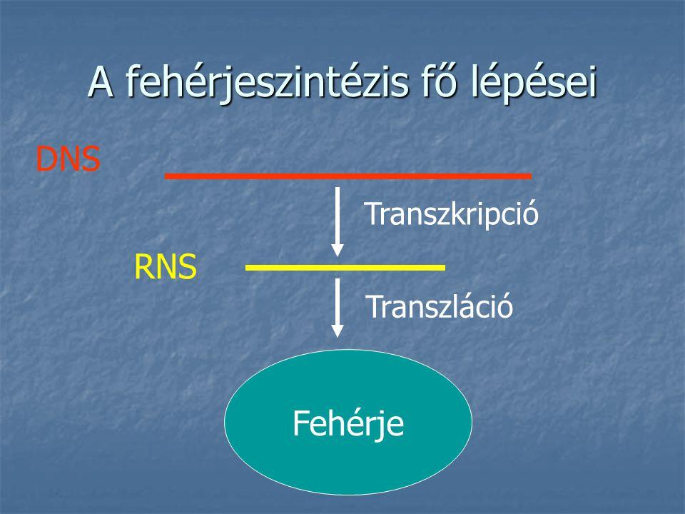 A fehérjeszintézis fő lépései Fehérje DNS RNS Transzkripció Transzláció