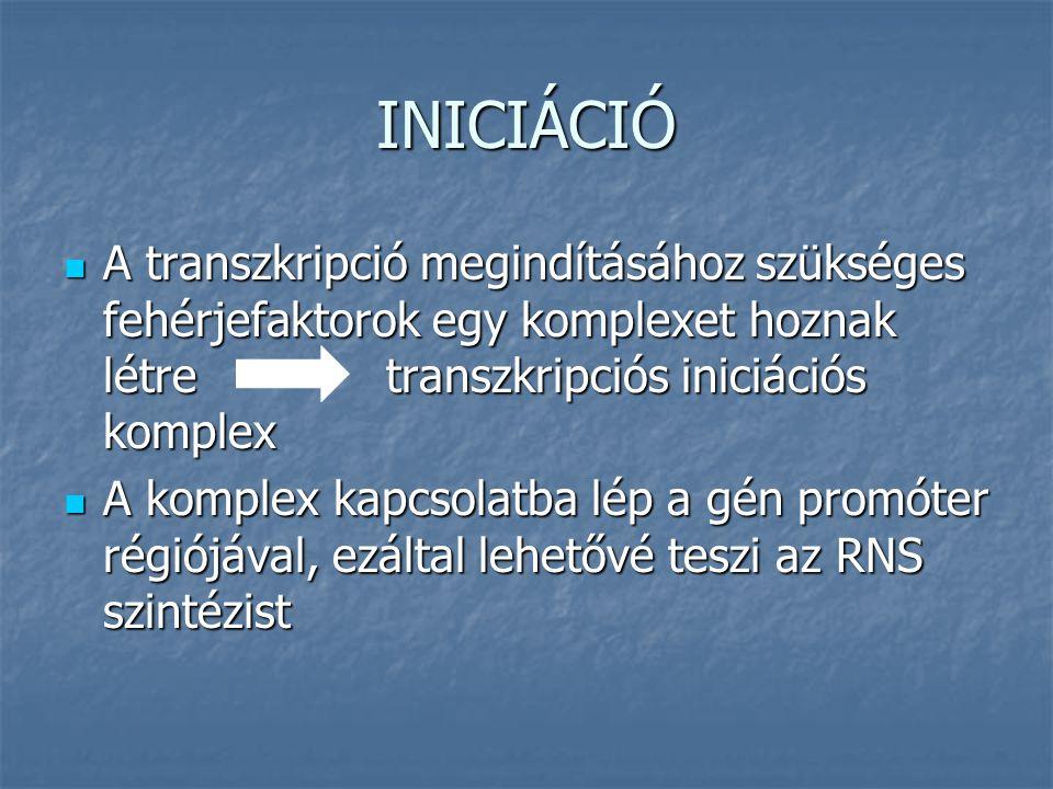 INICIÁCIÓ A transzkripció megindításához szükséges fehérjefaktorok egy komplexet hoznak létre transzkripciós iniciációs komplex A transzkripció megindításához szükséges fehérjefaktorok egy komplexet hoznak létre transzkripciós iniciációs komplex A komplex kapcsolatba lép a gén promóter régiójával, ezáltal lehetővé teszi az RNS szintézist A komplex kapcsolatba lép a gén promóter régiójával, ezáltal lehetővé teszi az RNS szintézist