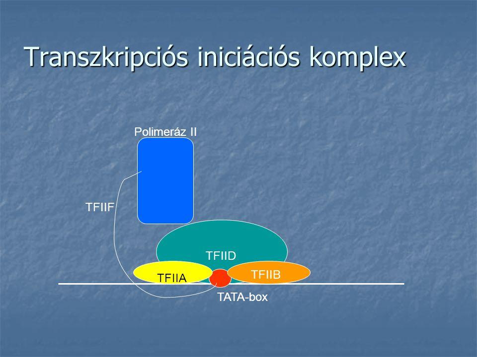A TIP120 fehérje TBP-vel kölcsönható faktor TBP-vel kölcsönható faktor 1230 aminosavból álló polipeptidlánc 1230 aminosavból álló polipeptidlánc A polimeráz II és a TFIID TBP alegységét köti össze A polimeráz II és a TFIID TBP alegységét köti össze