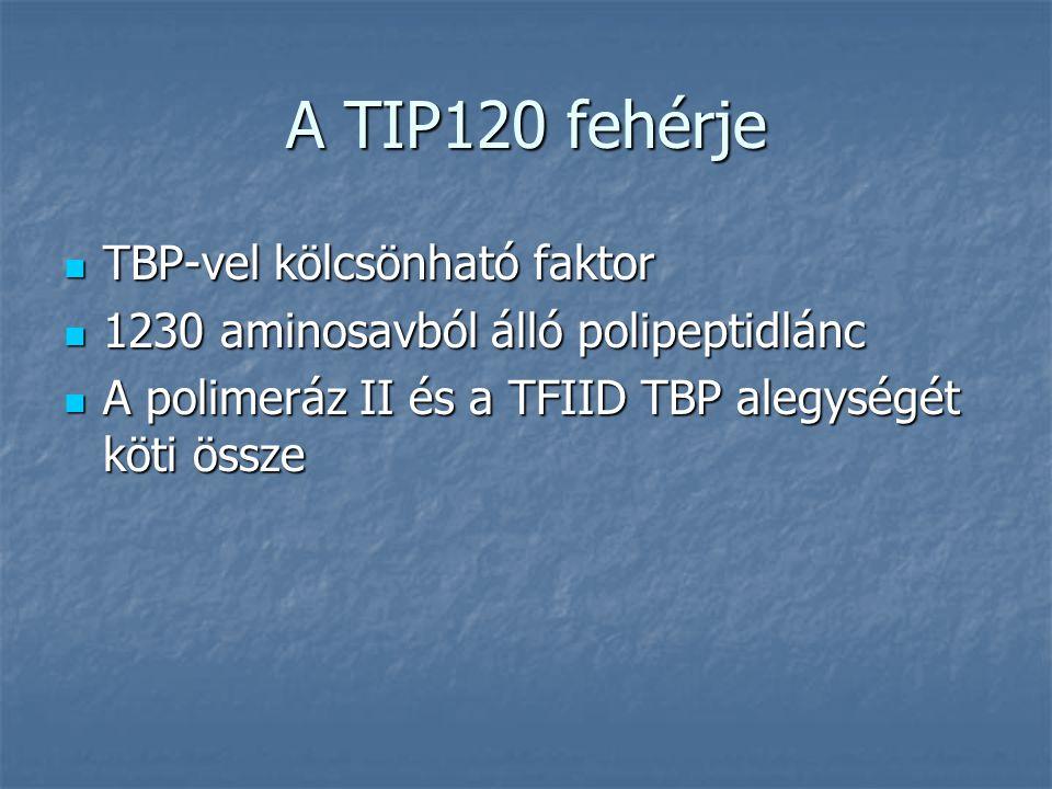 A TIP120 fehérje TBP-vel kölcsönható faktor TBP-vel kölcsönható faktor 1230 aminosavból álló polipeptidlánc 1230 aminosavból álló polipeptidlánc A pol