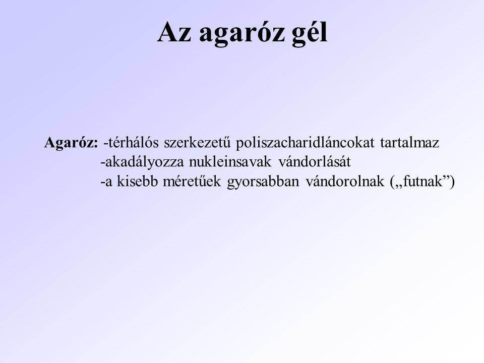 Az agaróz gél Agaróz: -térhálós szerkezetű poliszacharidláncokat tartalmaz -akadályozza nukleinsavak vándorlását -a kisebb méretűek gyorsabban vándoro