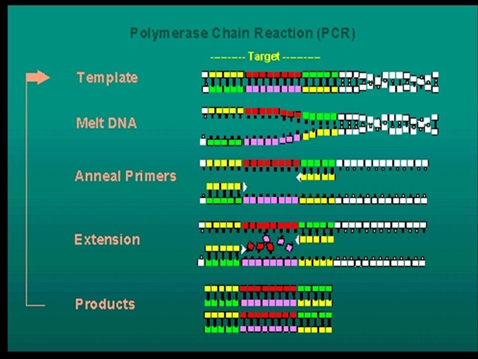 Polimeráz láncreakció Polimerase chain reaction, PCR)