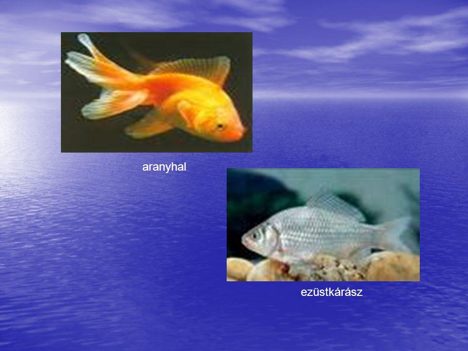 aranyhal ezüstkárász