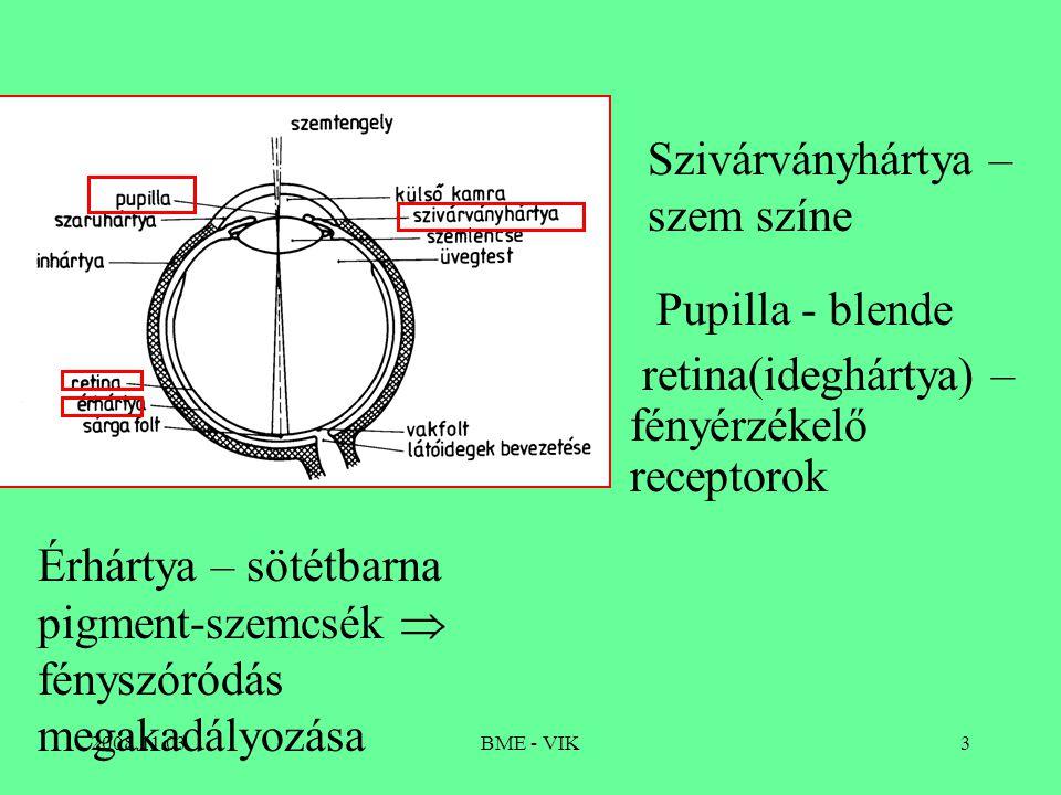 2008.11.03BME - VIK3 retina(ideghártya) – fényérzékelő receptorok Érhártya – sötétbarna pigment-szemcsék  fényszóródás megakadályozása Szivárványhártya – szem színe Pupilla - blende