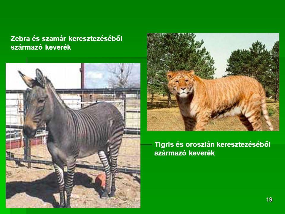 19 Tigris és oroszlán keresztezéséből származó keverék Zebra és szamár keresztezéséből származó keverék