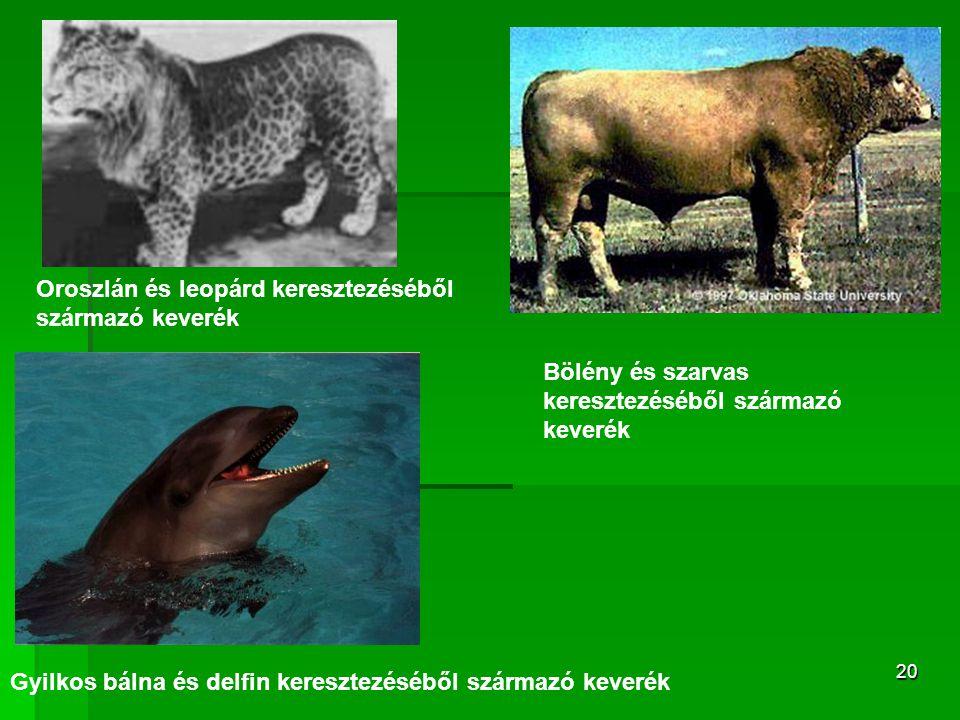 20 Gyilkos bálna és delfin keresztezéséből származó keverék Bölény és szarvas keresztezéséből származó keverék Oroszlán és leopárd keresztezéséből származó keverék