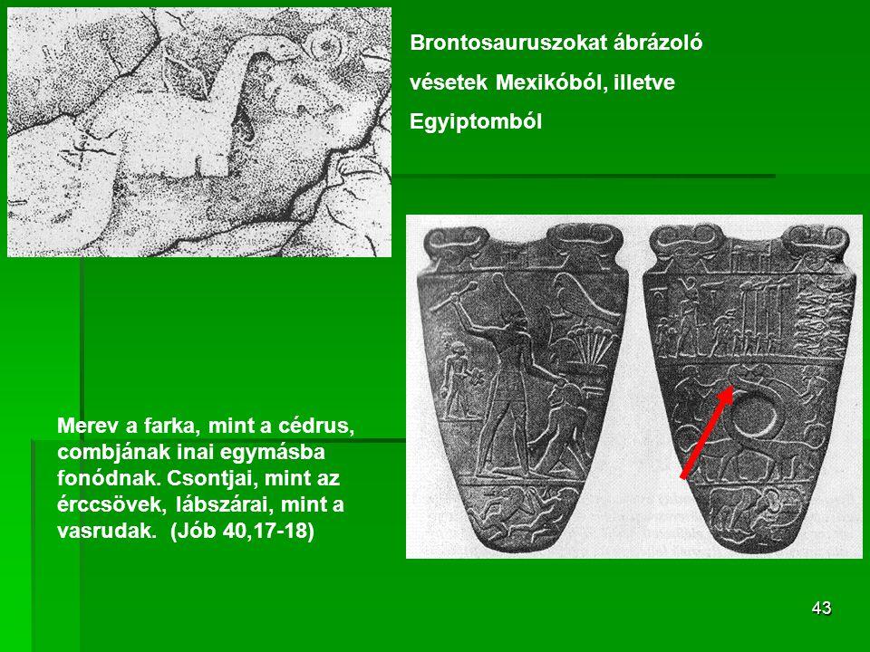 43 Brontosauruszokat ábrázoló vésetek Mexikóból, illetve Egyiptomból Merev a farka, mint a cédrus, combjának inai egymásba fonódnak.