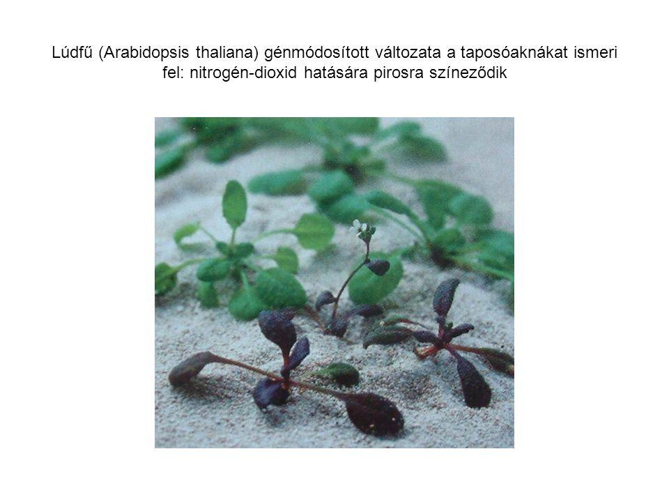 Lúdfű (Arabidopsis thaliana) génmódosított változata a taposóaknákat ismeri fel: nitrogén-dioxid hatására pirosra színeződik