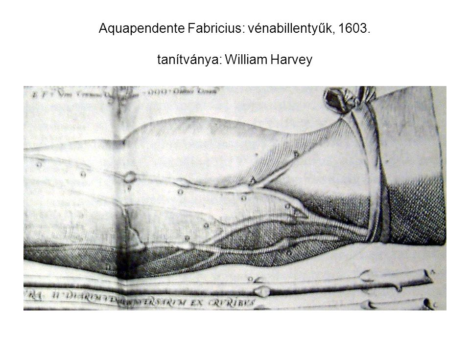 Aquapendente Fabricius: vénabillentyűk, 1603. tanítványa: William Harvey