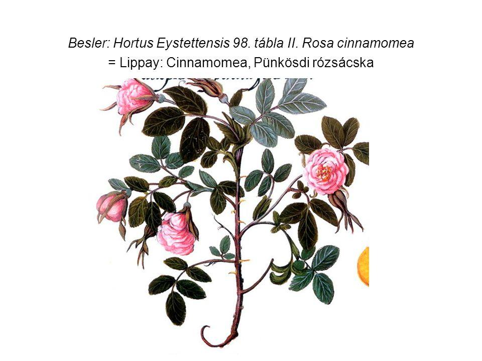 Besler: Hortus Eystettensis 98. tábla II. Rosa cinnamomea = Lippay: Cinnamomea, Pünkösdi rózsácska