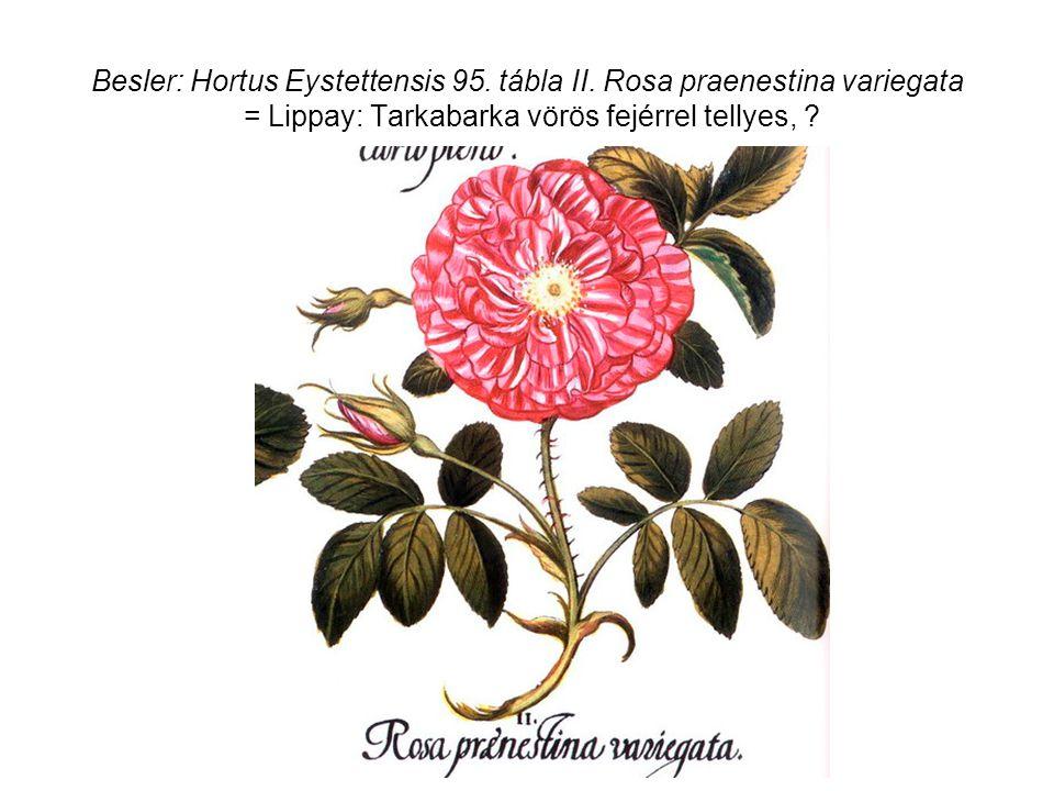 Besler: Hortus Eystettensis 95. tábla II.