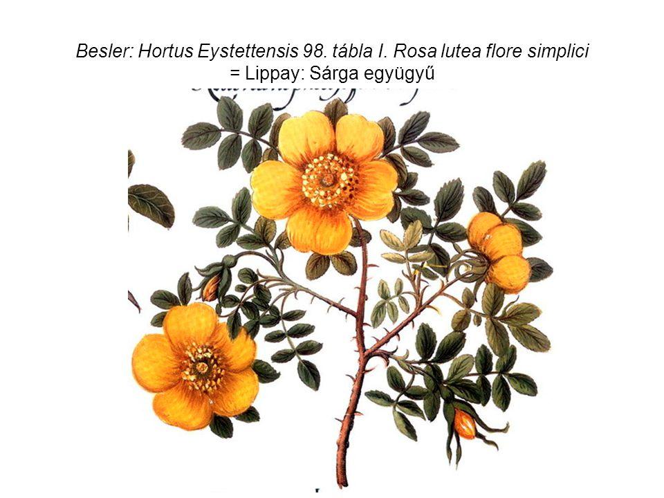 Besler: Hortus Eystettensis 98. tábla I. Rosa lutea flore simplici = Lippay: Sárga együgyű