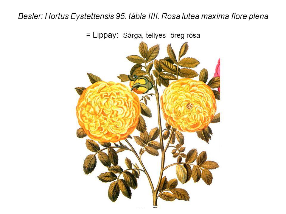Besler: Hortus Eystettensis 95. tábla IIII.