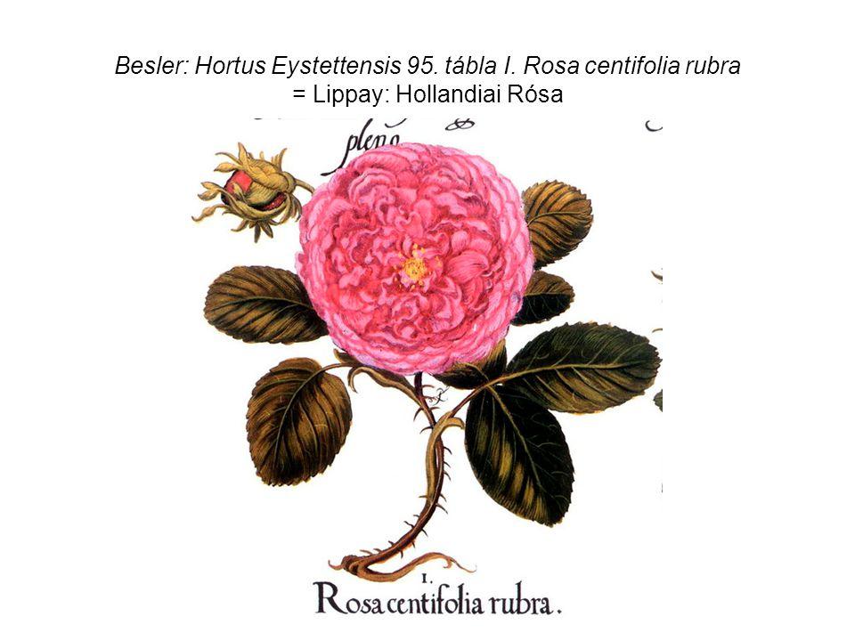 Besler: Hortus Eystettensis 95. tábla I. Rosa centifolia rubra = Lippay: Hollandiai Rósa