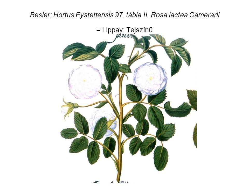 Besler: Hortus Eystettensis 97. tábla II. Rosa lactea Camerarii = Lippay: Tejszínű