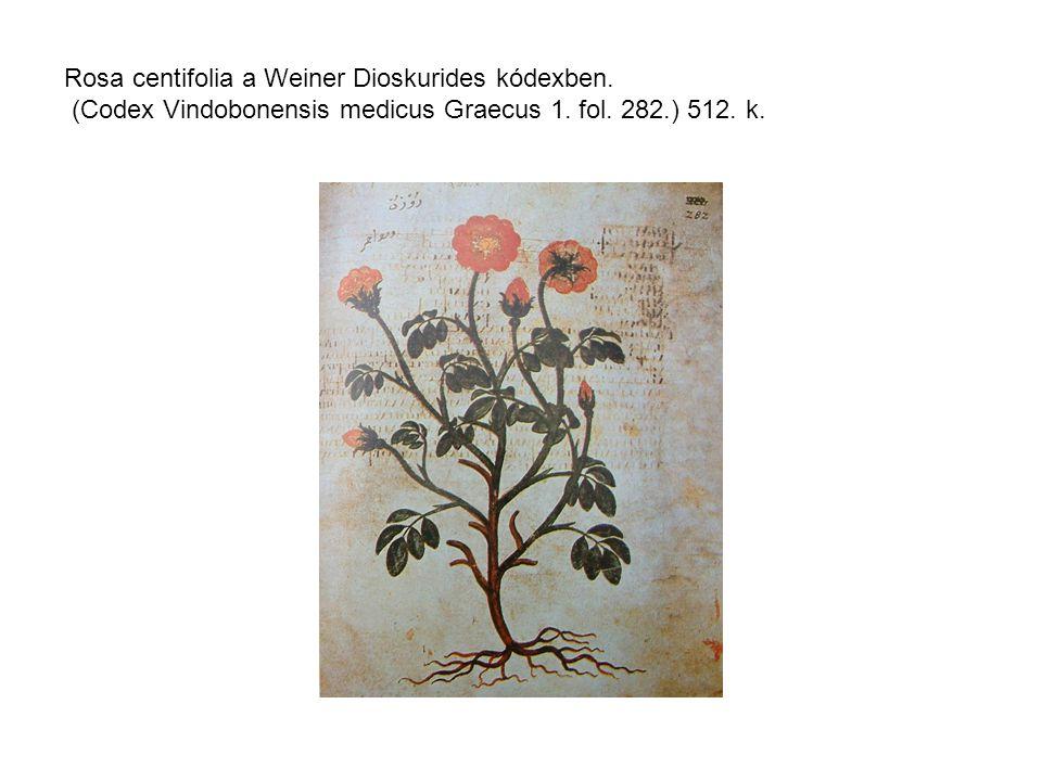 Rosa centifolia a Weiner Dioskurides kódexben. (Codex Vindobonensis medicus Graecus 1.