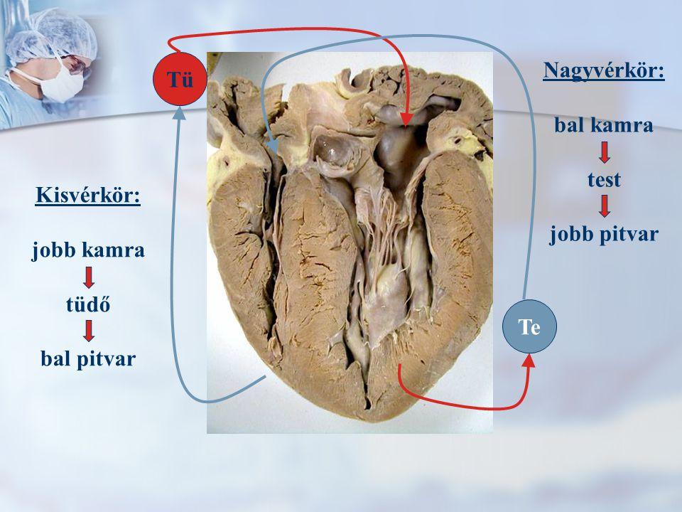 Kisvérkör: jobb kamra tüdő bal pitvar Nagyvérkör: bal kamra test jobb pitvar Tü Te