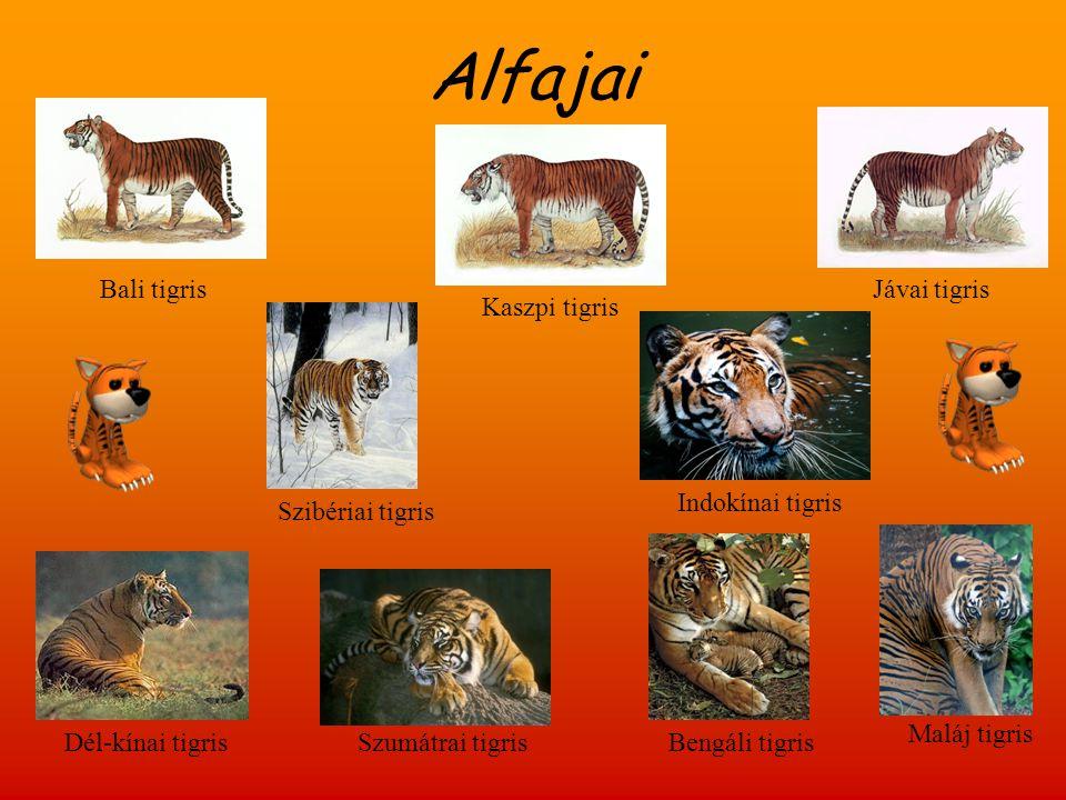Megjelenése  Legkisebb alfaj szumátrai tigris  Legnagyobb termetű alfaj szibériai tigris  Alapszíne sárgásbarna,vörösesbarna  Szőrzete fekete,sötétbarna csíkozású  Torka,hasoldal,végtagok belső része általában fehérek  Bajusz tájékozódás