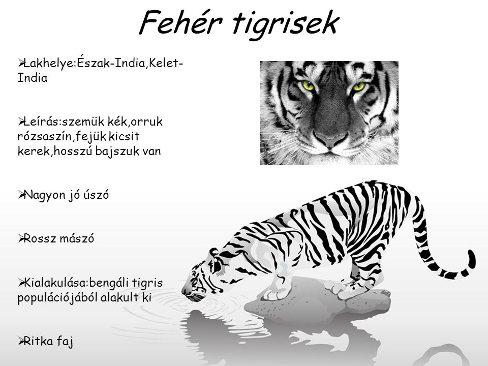 Fehér tigrisek  Lakhelye:Észak-India,Kelet- India  Leírás:szemük kék,orruk rózsaszín,fejük kicsit kerek,hosszú bajszuk van  Nagyon jó úszó  Rossz
