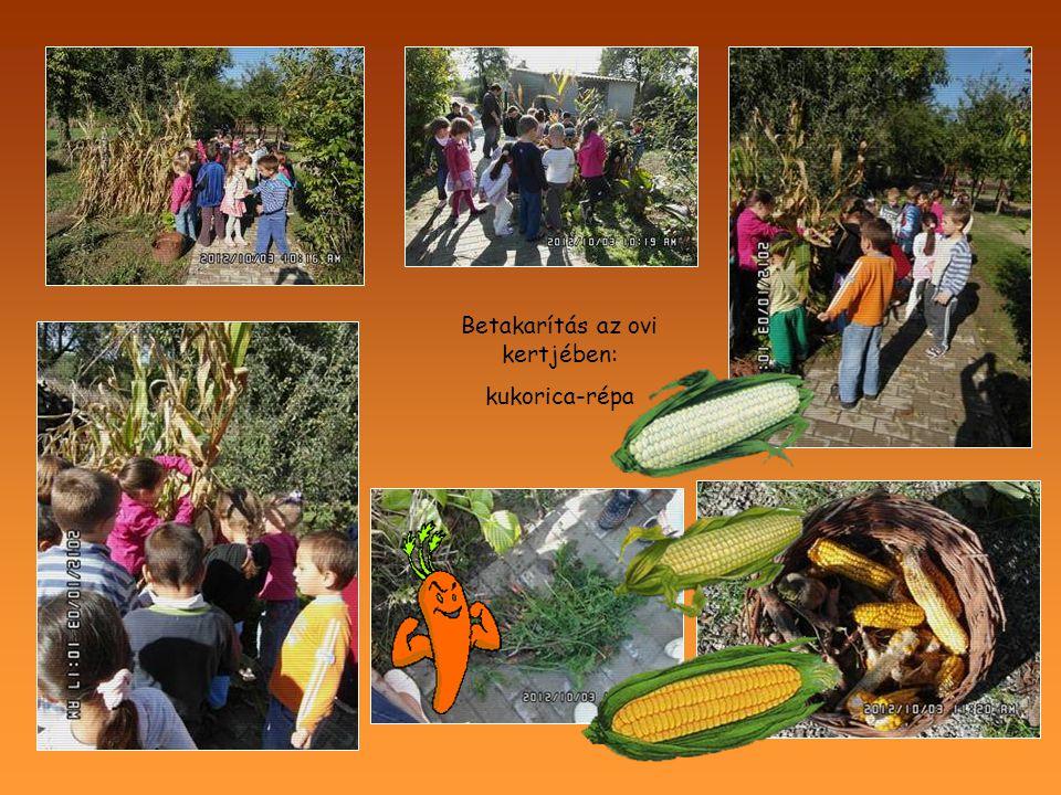 Betakarítás az ovi kertjében: kukorica-répa
