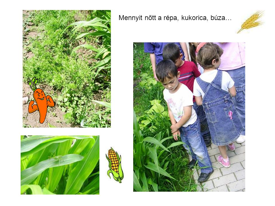 Mennyit nőtt a répa, kukorica, búza…