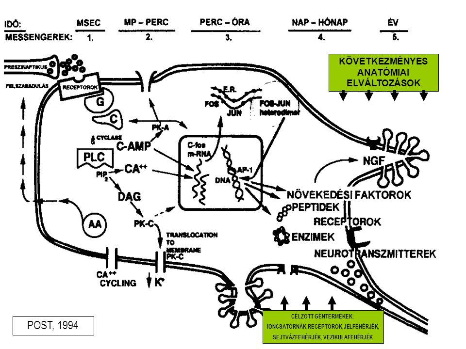 Kokain Neurokémiai változások D 2 receptor orbitofrontalis kéreg gyrus cinguli DA,SE uptake site D 2 transporter prefontalis kéreg DA depléció hyperprolactinaeamia hypofízis volumen Funkcionális változások prefrontalis hypofunkció- neurocognitív károsodás rCBF frontalis kéreg basalis ganglionok rCBF ACA,ACM eltérő érzékenysége Csökkent glukóz metabolizmus OFC Strukturális változások atrófia cerebri prefontalis lebeny volumen hypofízis volumen Funkcionalitas-viselkedésváltozás executív funkciók károsodása ( ítélőképesség csökkenés, előretervezés, döntéshozatal, fluencia,gátlási funkciók csökkenése) kóros viselkedés, betegség (apátia, eufória,depresszió, compulsiók, irritabilitas, paranoiditas) Akut hatás Krónikus hatás