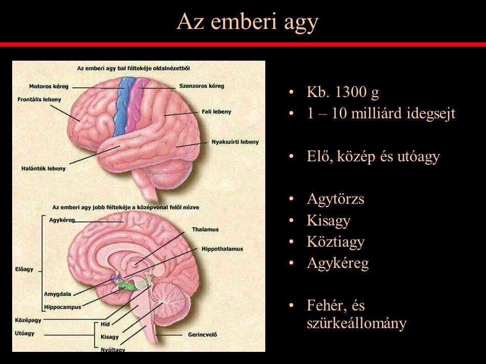 Az emberi agy Kb. 1300 g 1 – 10 milliárd idegsejt Elő, közép és utóagy Agytörzs Kisagy Köztiagy Agykéreg Fehér, és szürkeállomány