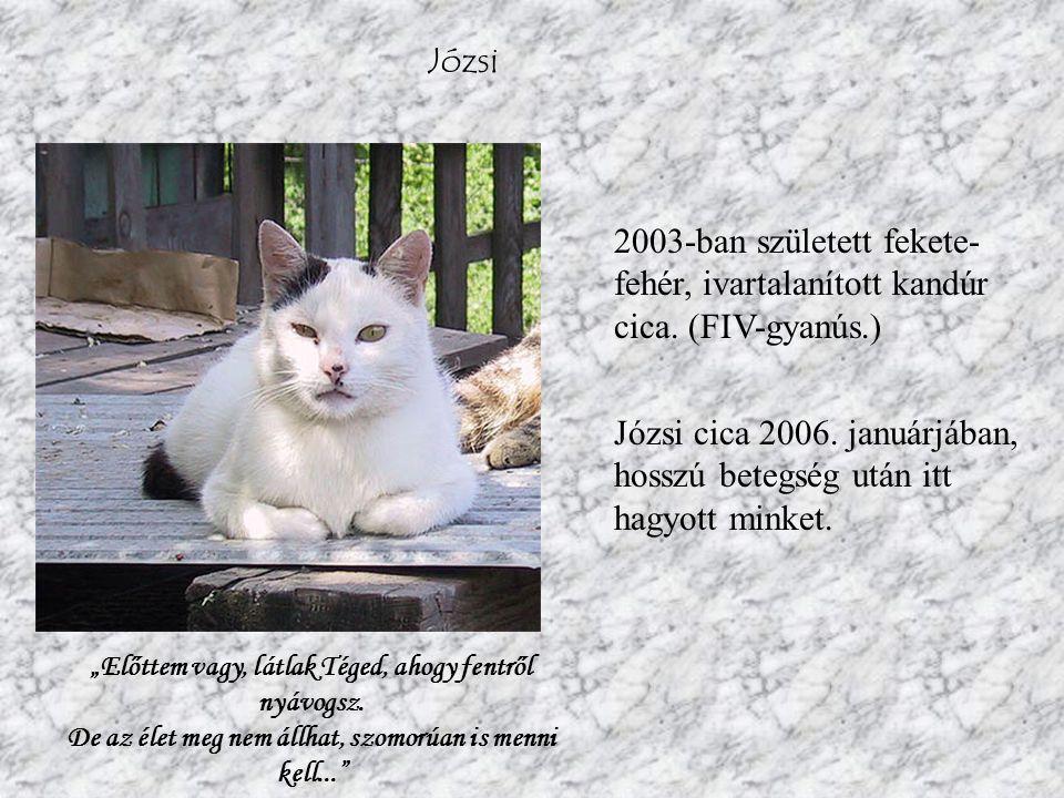 Józsi 2003-ban született fekete- fehér, ivartalanított kandúr cica.