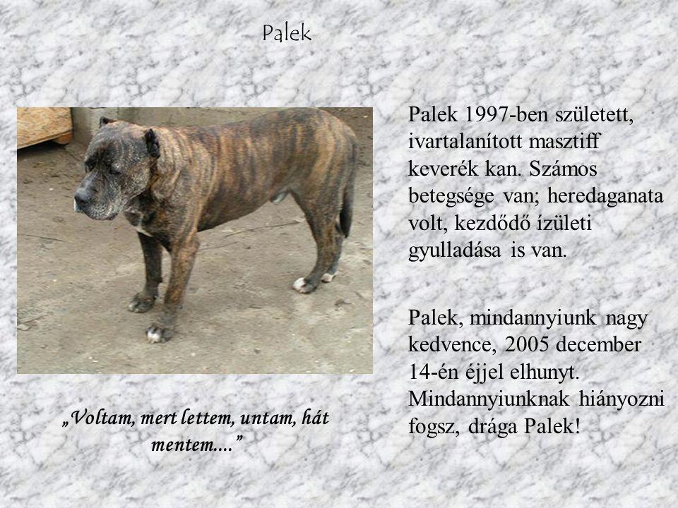Palek Palek 1997-ben született, ivartalanított masztiff keverék kan.