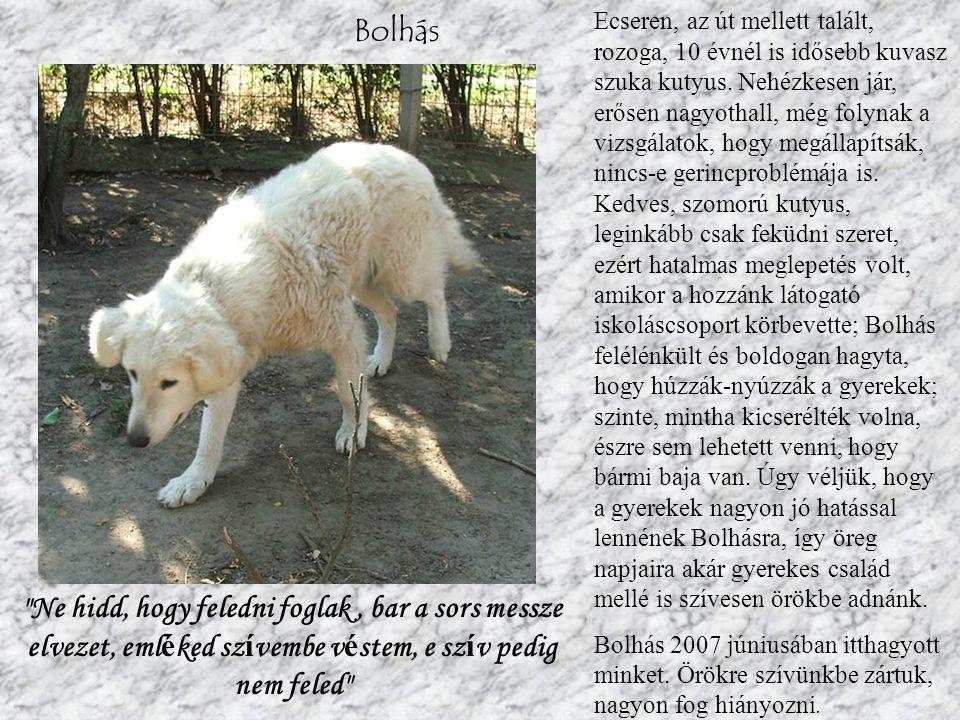 Bolhás Ecseren, az út mellett talált, rozoga, 10 évnél is idősebb kuvasz szuka kutyus.