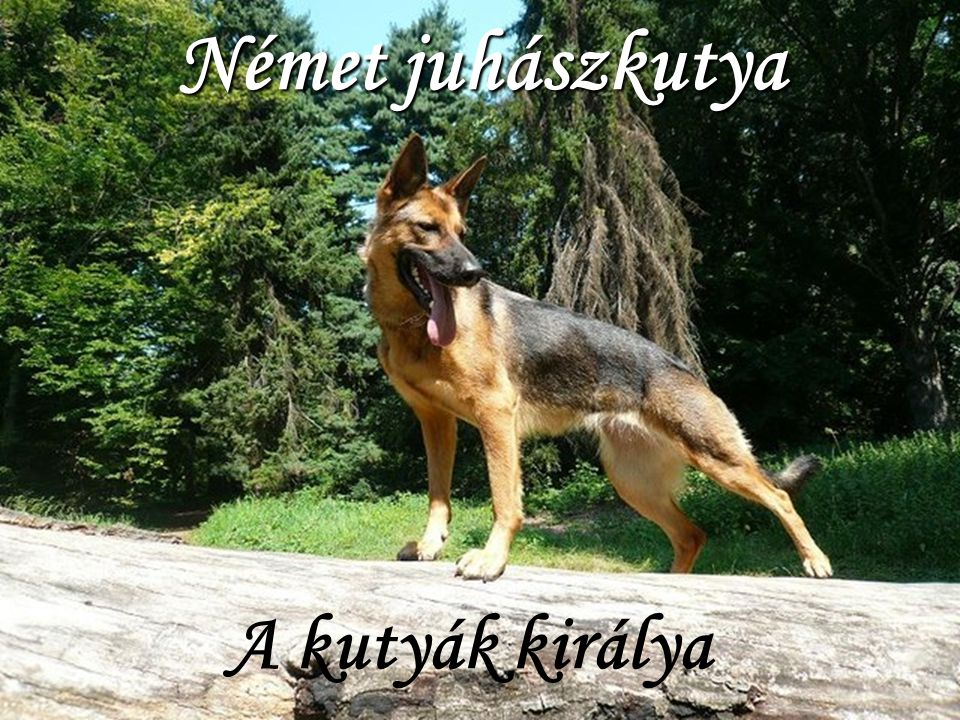Német juhászkutya A kutyák királya