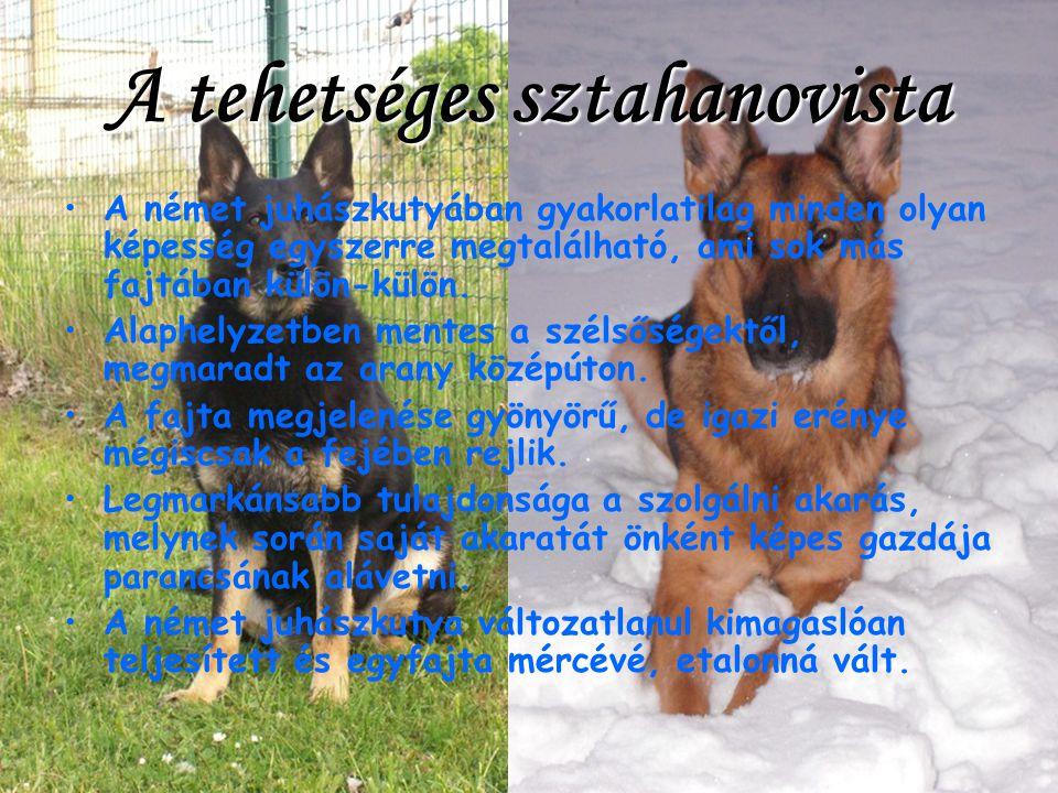 A német juhászkutyában gyakorlatilag minden olyan képesség egyszerre megtalálható, ami sok más fajtában külön-külön.