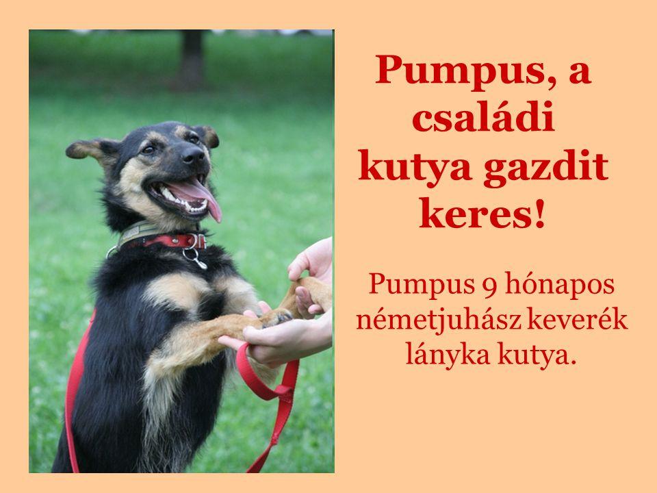 Pumpus, a családi kutya gazdit keres! Pumpus 9 hónapos németjuhász keverék lányka kutya.