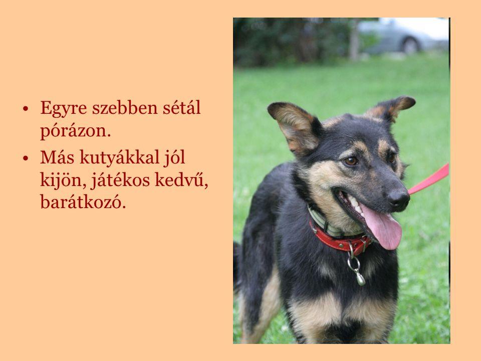 Egyre szebben sétál pórázon. Más kutyákkal jól kijön, játékos kedvű, barátkozó.